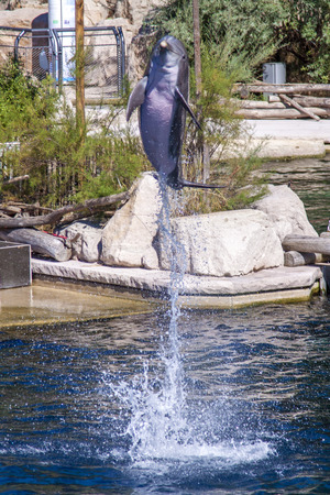 bottlenose: Common bottlenose dolphin jumps out of the water