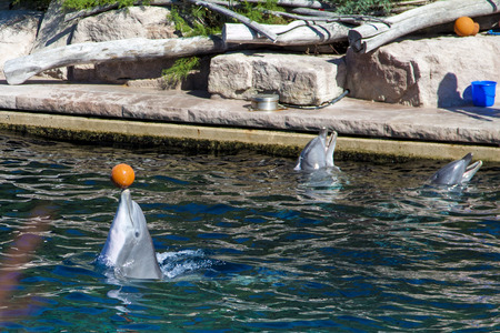 bottle nose: Common bottlenose dolphin plays with ball Stock Photo