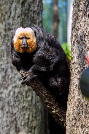 saki: Pitheciidae, White-faced saki sitting on tree