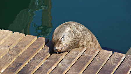 afrika: funny sea lion sleeping on wooden gangplank, cape town, south afrika