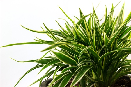 Striped Dracaena Plant on white background