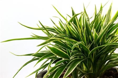 Striped Dracaena Plant on white background