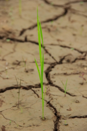 infertile: Rice on cracked dried land