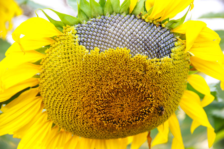 Sunflower with Seeds in the field on a sunny day photo