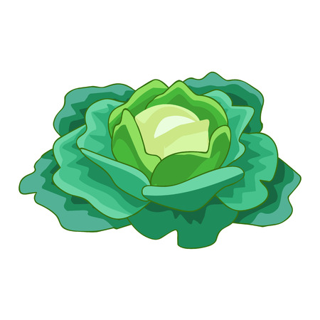 green cabbage isolated illustration on white background