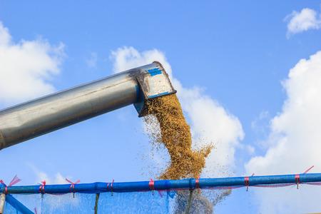 rice harvesting photo