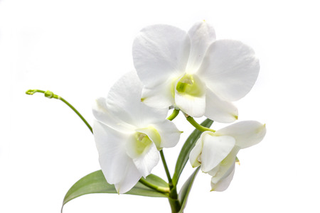 Witte orchidee op witte achtergrond Stockfoto