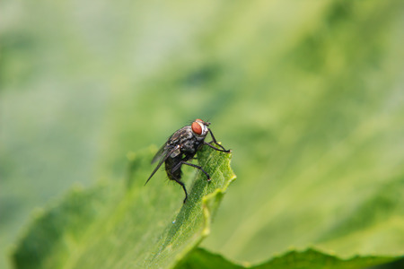 diptera: Blow fly on green leaf Stock Photo