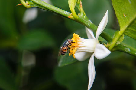 syrphid fly: Flower Flies perched on flower Stock Photo