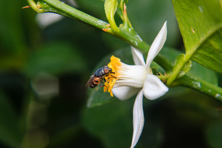mimetic: Flower Flies perched on flower Stock Photo
