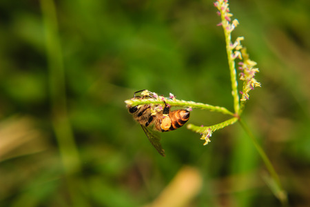 collecting: bee collecting pollen from a grass flower Stock Photo