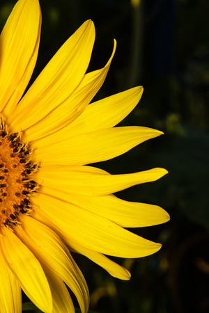 part of blooming sunflower photo