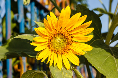 sunflower in the field on a sunny day photo