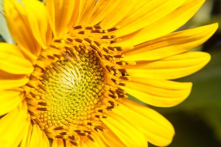 Closeup of blooming sunflower photo