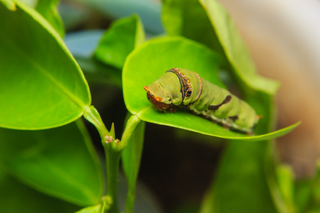 caterpillar worm: caterpillar worm on leaf