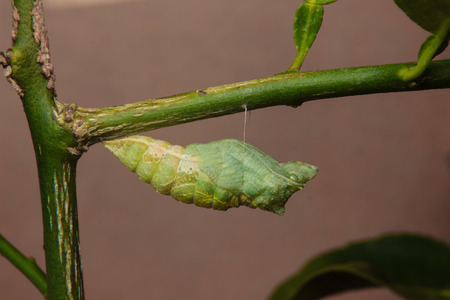 chrysalis of butterfly hanging on branch