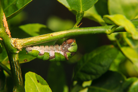 chrysalis: caterpillar hanging and evolving is chrysalis on branch