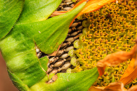 ifestyle: sunflower seed is still on the flowers