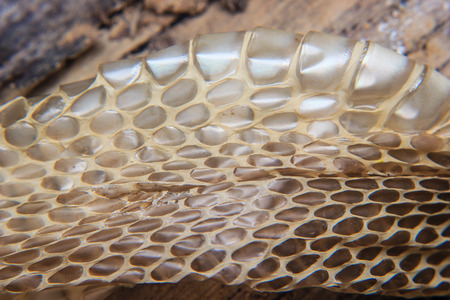 molting: close up of Shed snake dry skin