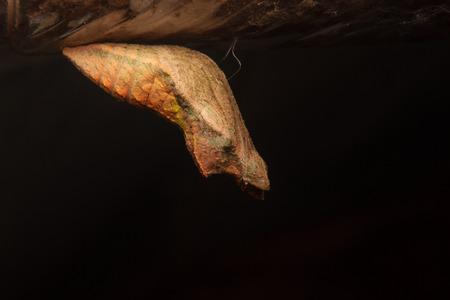 metamorphose: chrysalis of butterfly hanging