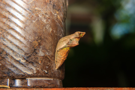 entomological: chrysalis of butterfly hanging