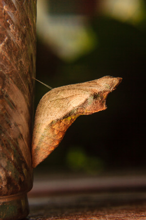 chrysalis: chrysalis of butterfly hanging