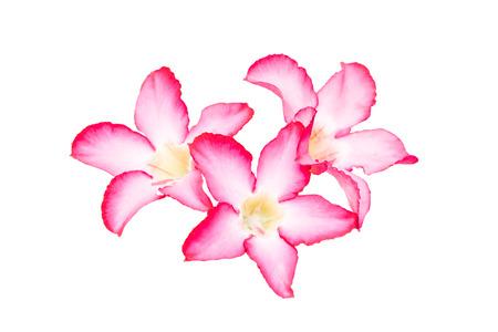 adenium: Digital structure of painting. flower Pink Adenium