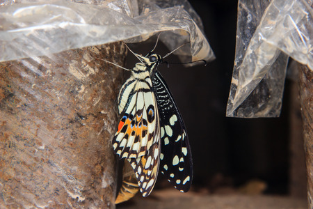emerged: Close up of newly emerged butterfly