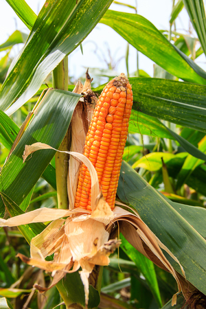 corn on the cob: corn cob on tree in the field Stock Photo