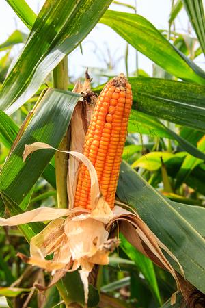 elote: mazorca de maíz en el árbol en el campo
