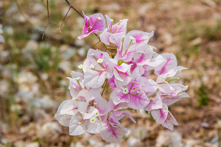 color bougainvillea: pink and white Bougainvillea flowers