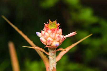 urn: close up bromeliad or Urn Plant flower Stock Photo