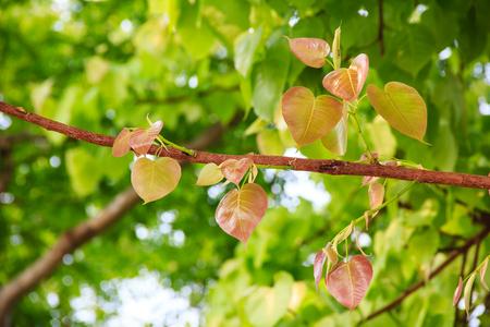 gaya: Bodhi or pho leaves and tree Stock Photo