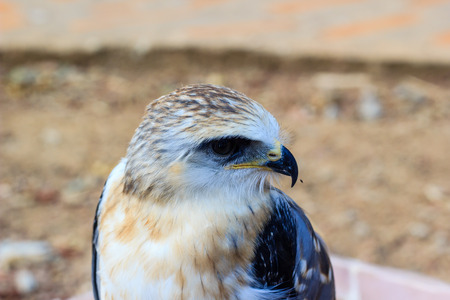 talons: Portrait of a young falcon