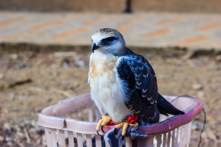 talons: young falcon bird