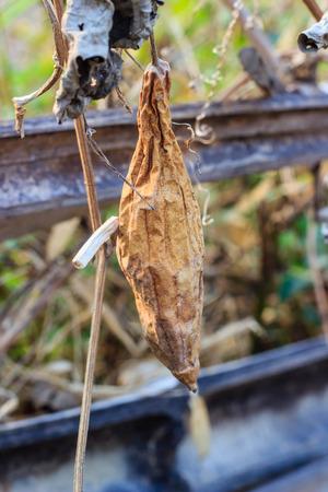 calabacin: calabac�n secos Foto de archivo