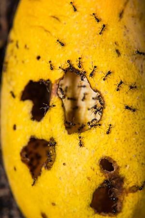 feasting: ants swarming mango Stock Photo