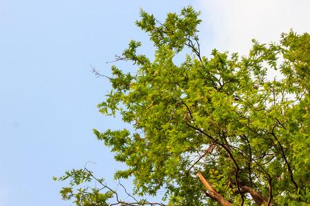 tamarindo: Árbol de Tamarindo