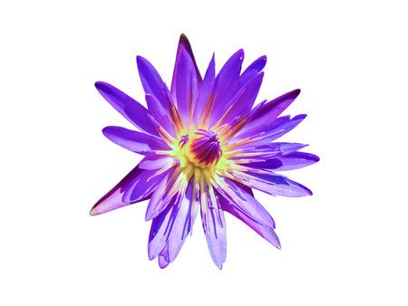 nenúfar violeta o flor de loto aisladas sobre fondo blanco