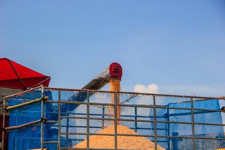 corn harvest on farmland in thailand