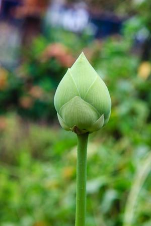 Fondo de la flor de loto
