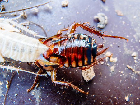 close up of molting cockroach