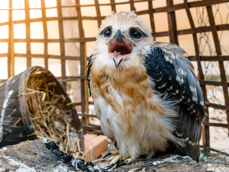 Portrait of a young falcon bird