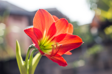 Hippeastrum johnsonii Bury beautiful flower in garden