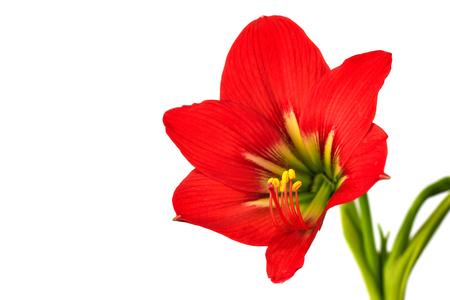 Hippeastrum johnsonii Bury beautiful flower isolated on white background