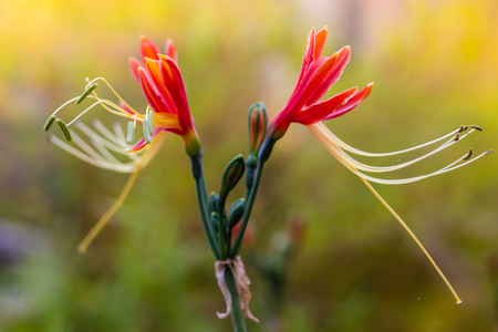 bicolor: Eucrosia bicolor red flowers in the nature background Stock Photo