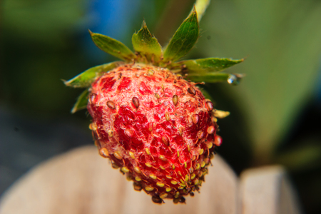 berry: lose-up of strawberry diseased in the garden