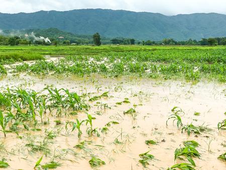 corn plants on a field flooded damage after heavy rain