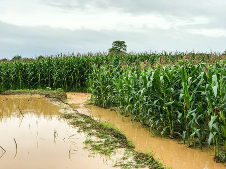 corn plants on a field flooded damage after heavy rain