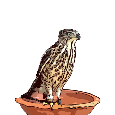 drawing falcon isolated on white background